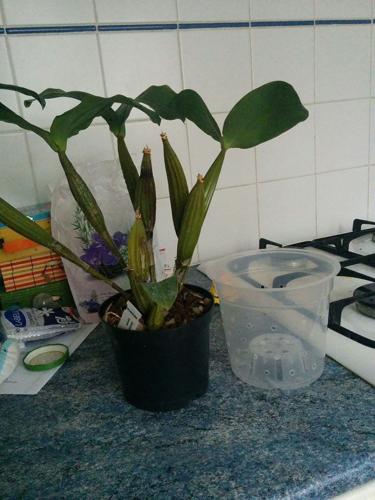 Dendrobium polysema 160403090701626464