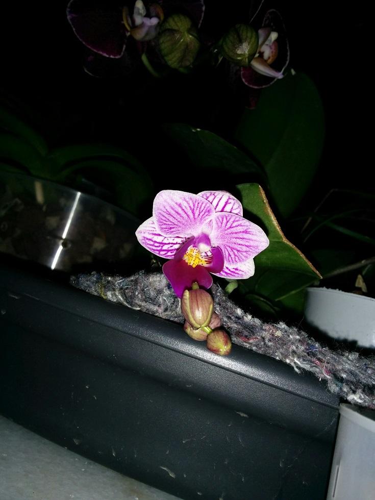 Mini Phalaenopsis Sogo Vivien  160406104858722647