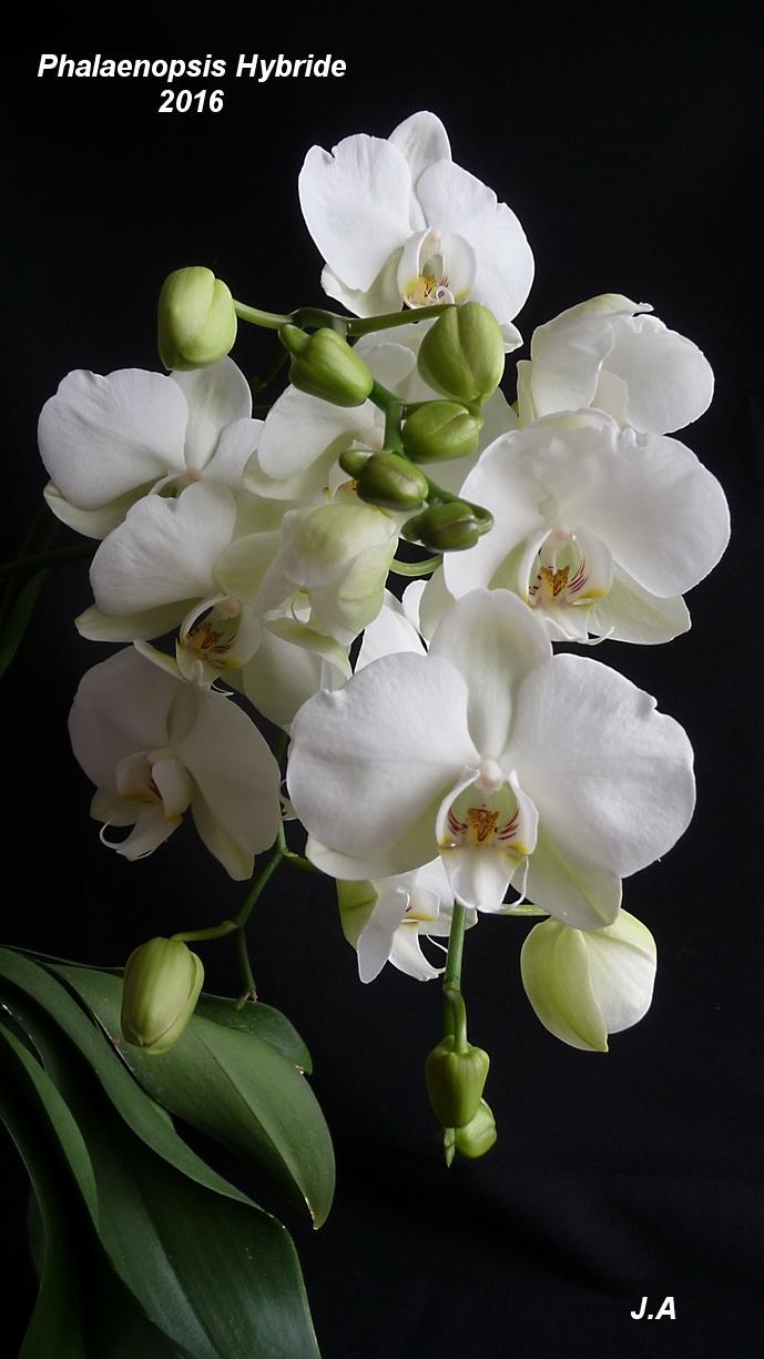Phalaenopsis Hybride 160520080747974117