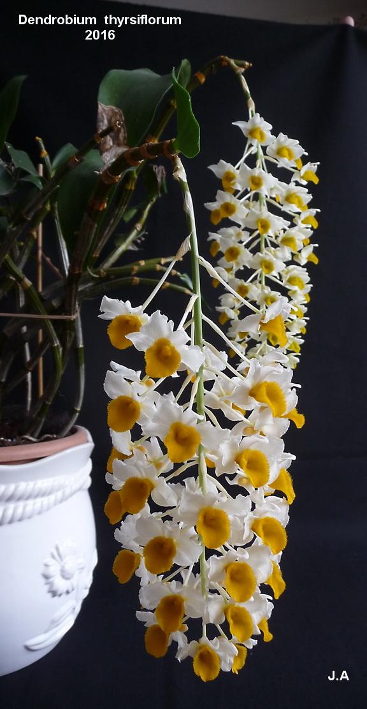 Dendrobium thyrsiflorum 160604061543649135