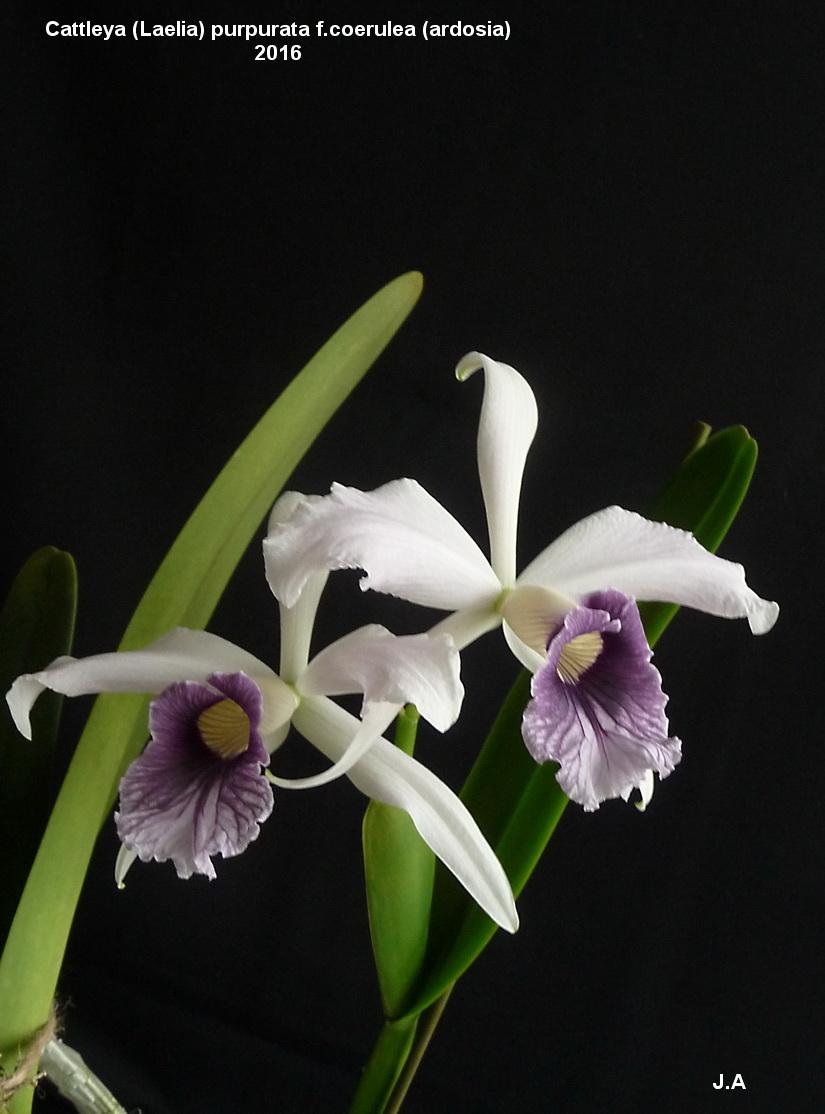 Cattleya purpurata f.coerulea (ardosia) 16060406585894370