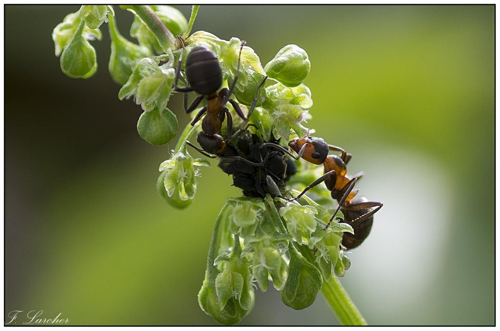 Le peuple des fourmis 160618081737323812