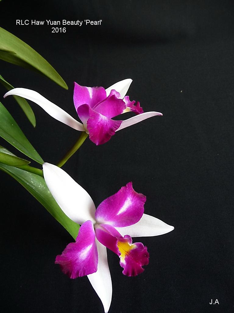 Rhyncholaeliocattleya Haw Yuan Beauty 'Pearl' 160629030942367034