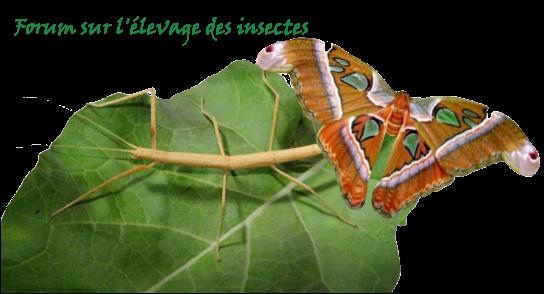 Insectes-élevages