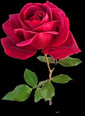 TRES_BELLE_ROSE_ROUGE_
