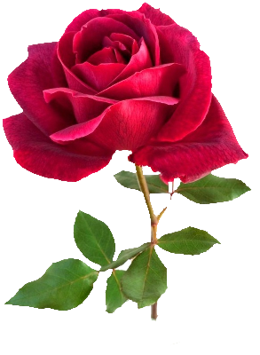 TRES_BELLE_ROSE_ROUGE_