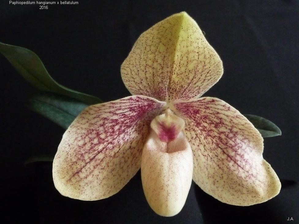 Paphiopedilum  Karl Ploberger  (hangianum x bellatulum) 160719033532832152
