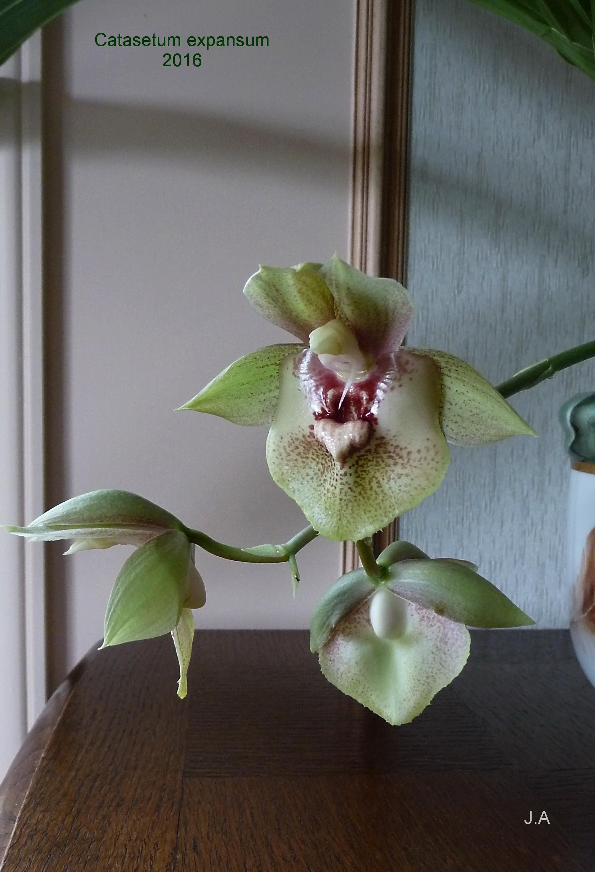 Catasetum expansum 1608201130194336