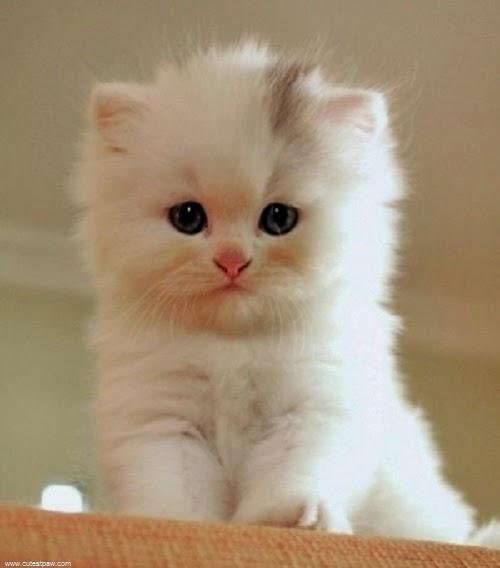 Photos-petit-chat-blanc-9