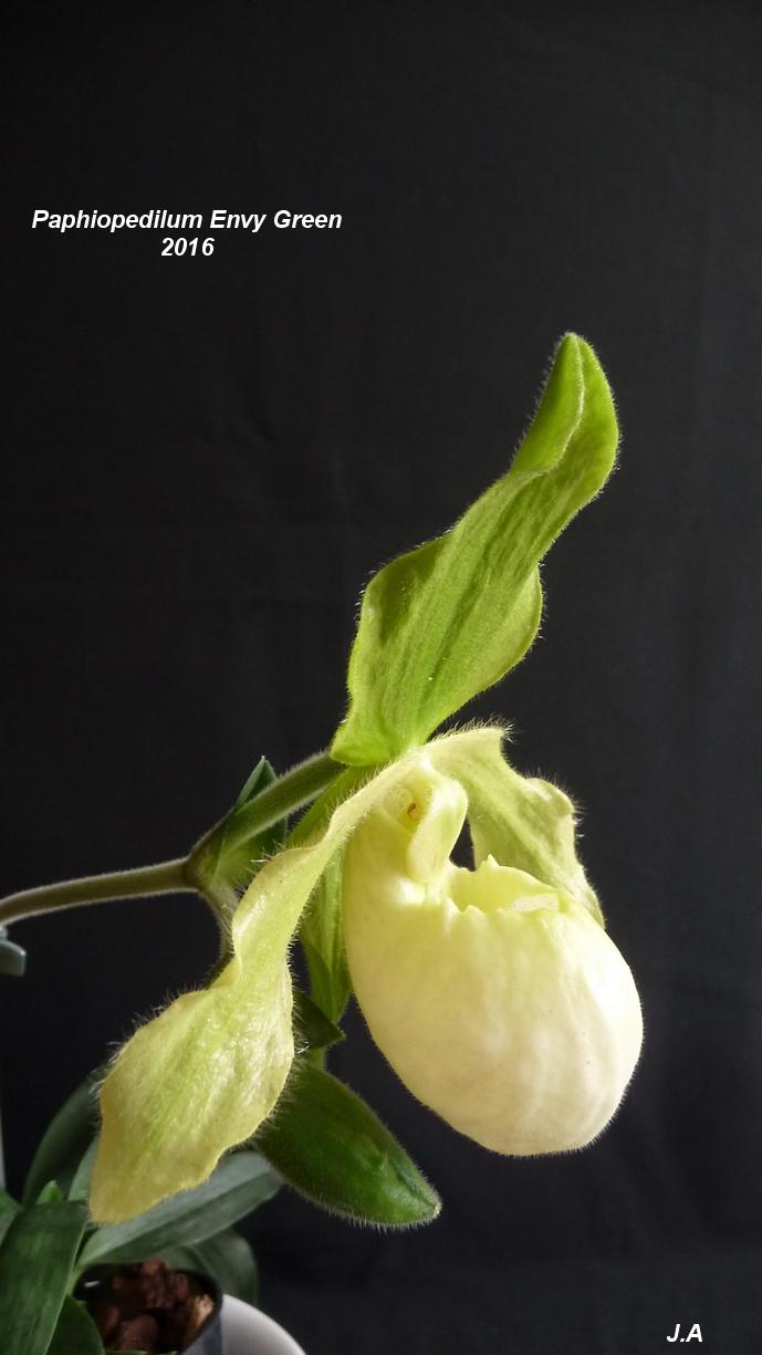 Paphiopedilum Envy Green (Paphio primulinum x Paphio malipoense) 16090905310932244