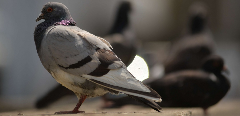 pigeons charabia