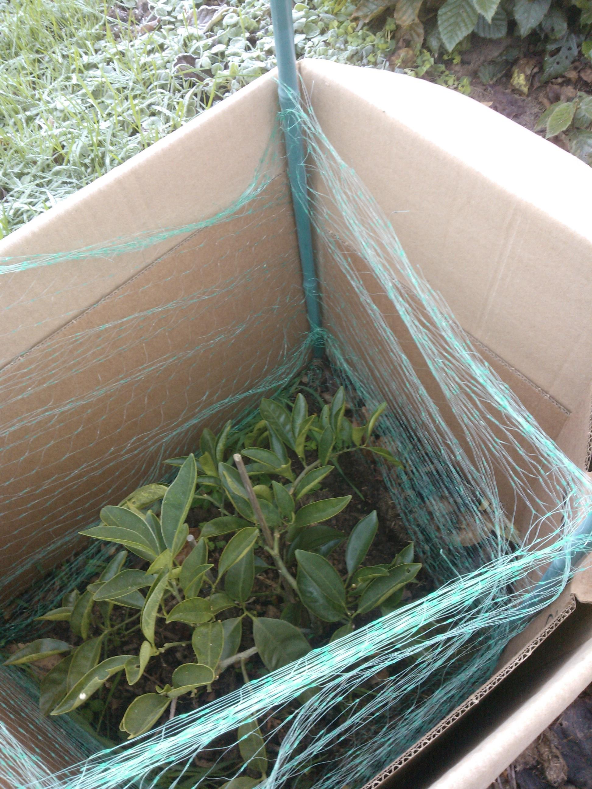 Rusticité c'est quoi pour les agrumes ? 161204122405782913