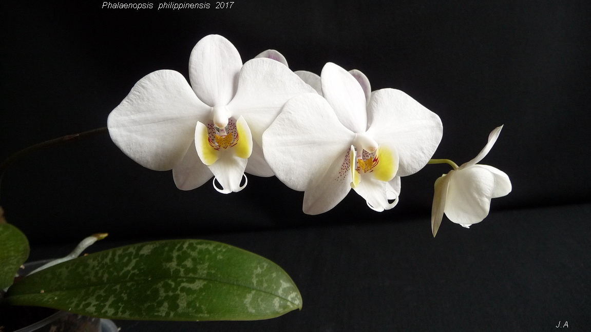 Phalaenopsis philippinensis 170308115130916772
