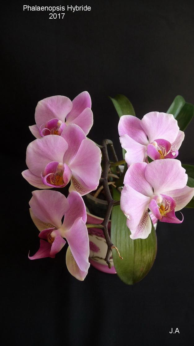 Phalaenopsis Hybride 170317113130977946