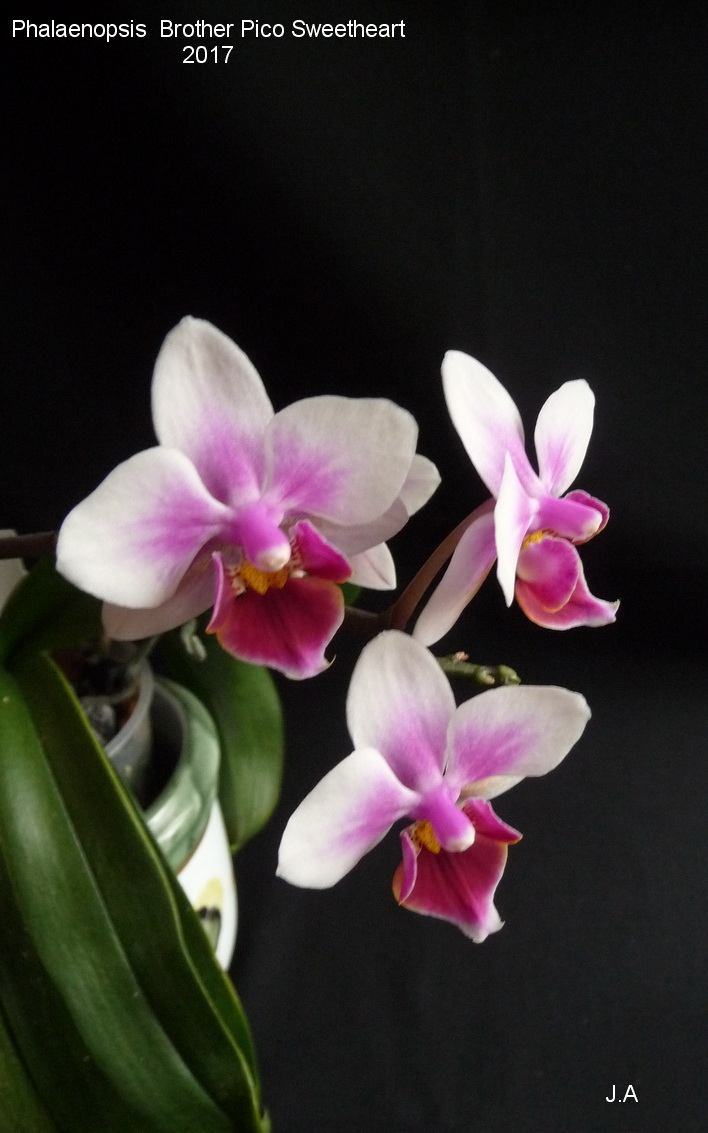 Phalaenopsis Brother Pico Sweetheart 170319020434906641