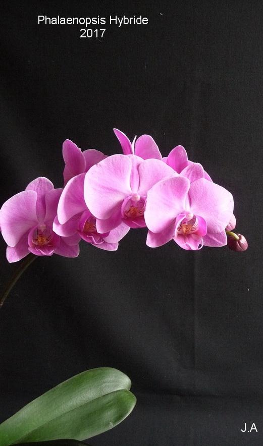 Phalaenopsis Hybride N°6 170323053412307152