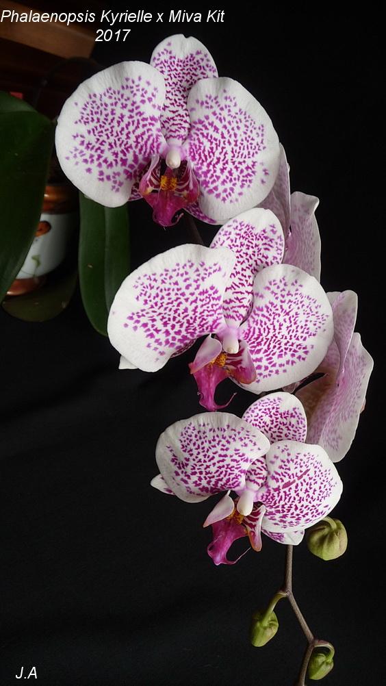 phalaenopsis Kyrielle x Miva Kit 170323082845482886