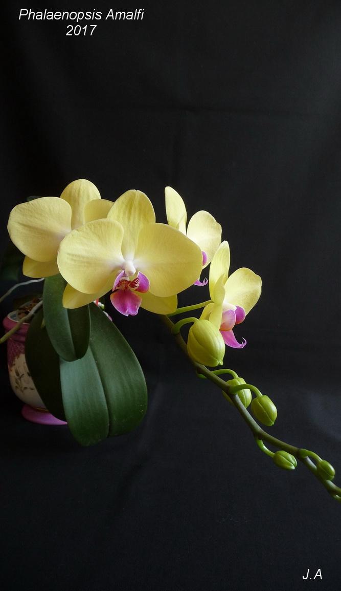 Phalaenopsis Amalfi 170330111407725885