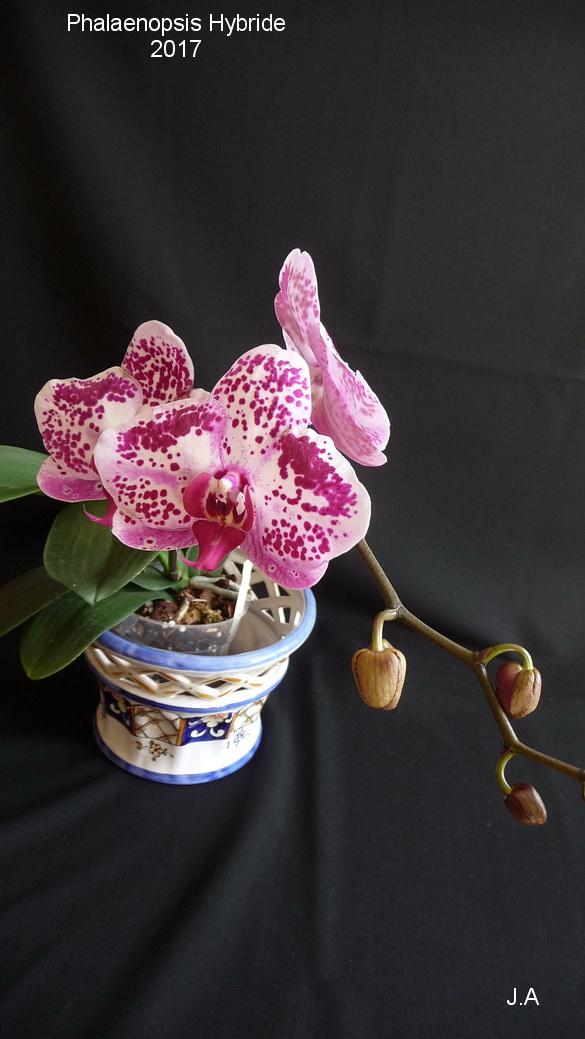 Phalaenopsis hybride N°8 170405104933477831