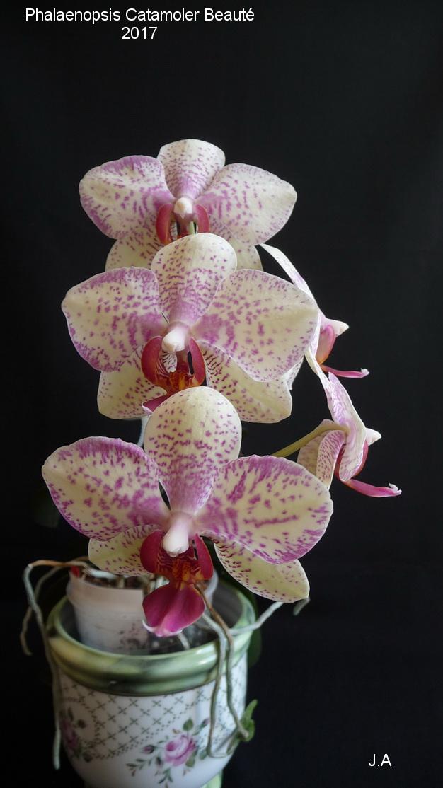 Phalaenopsis Catamoler Beauté (Phal cataracte x phal barbara moler) 170406114700649495
