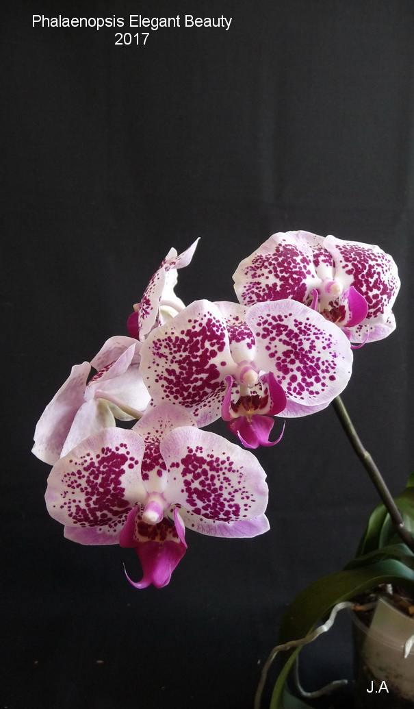 Phalaenopsis Elegant Beauty 170408112605967607