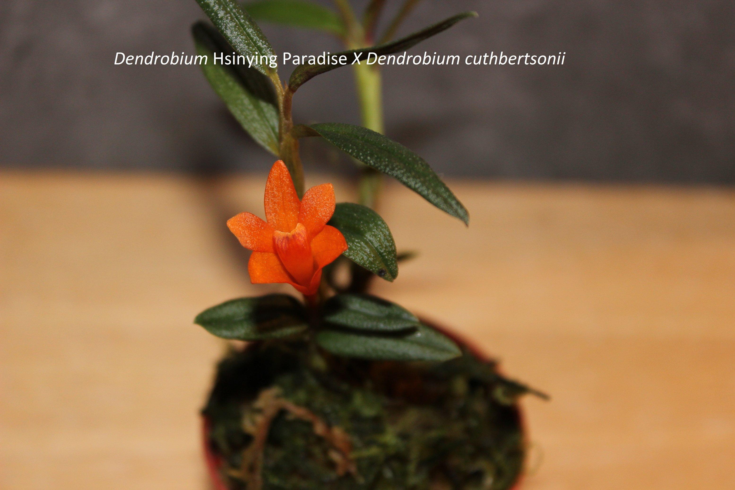 Dendrobium hybride 170509082203748331
