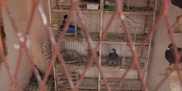 fiente-pigeons-592x296