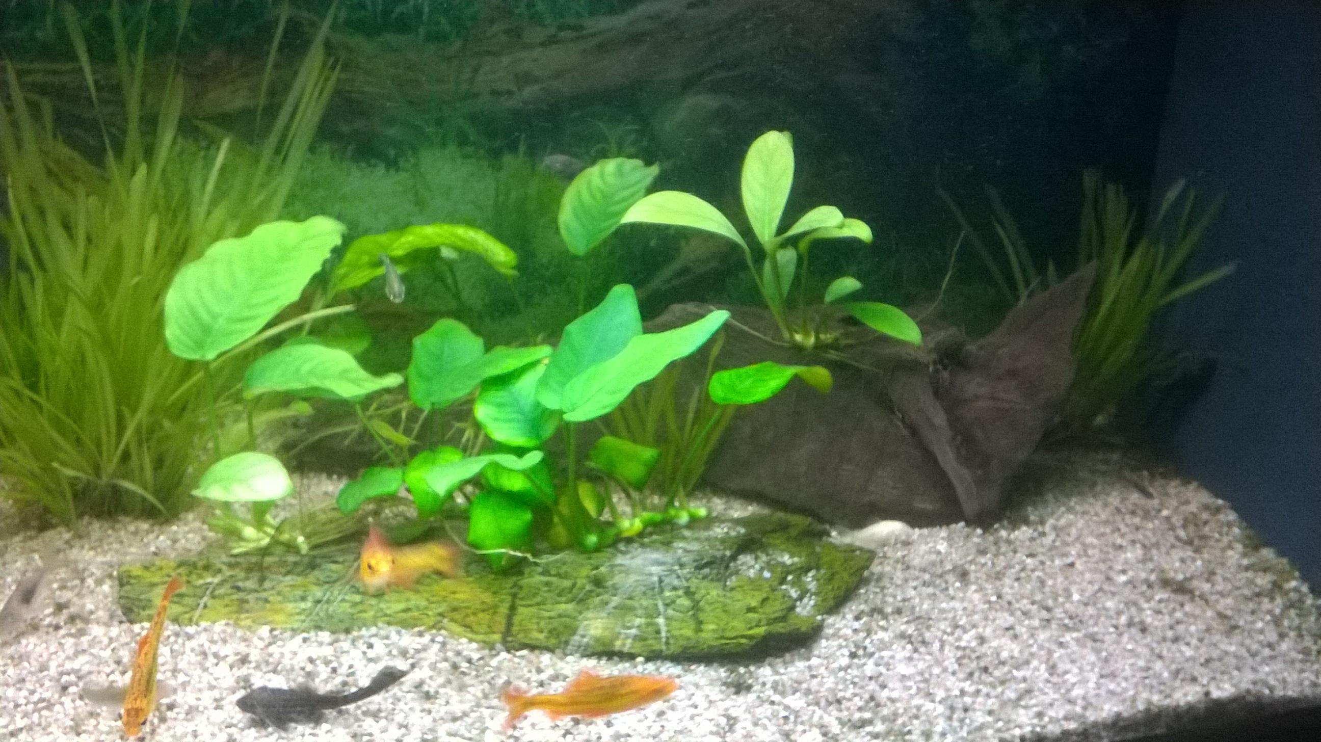 Plantes pour aquarium sans substrat page 2 les plantes for Substrat pour aquarium
