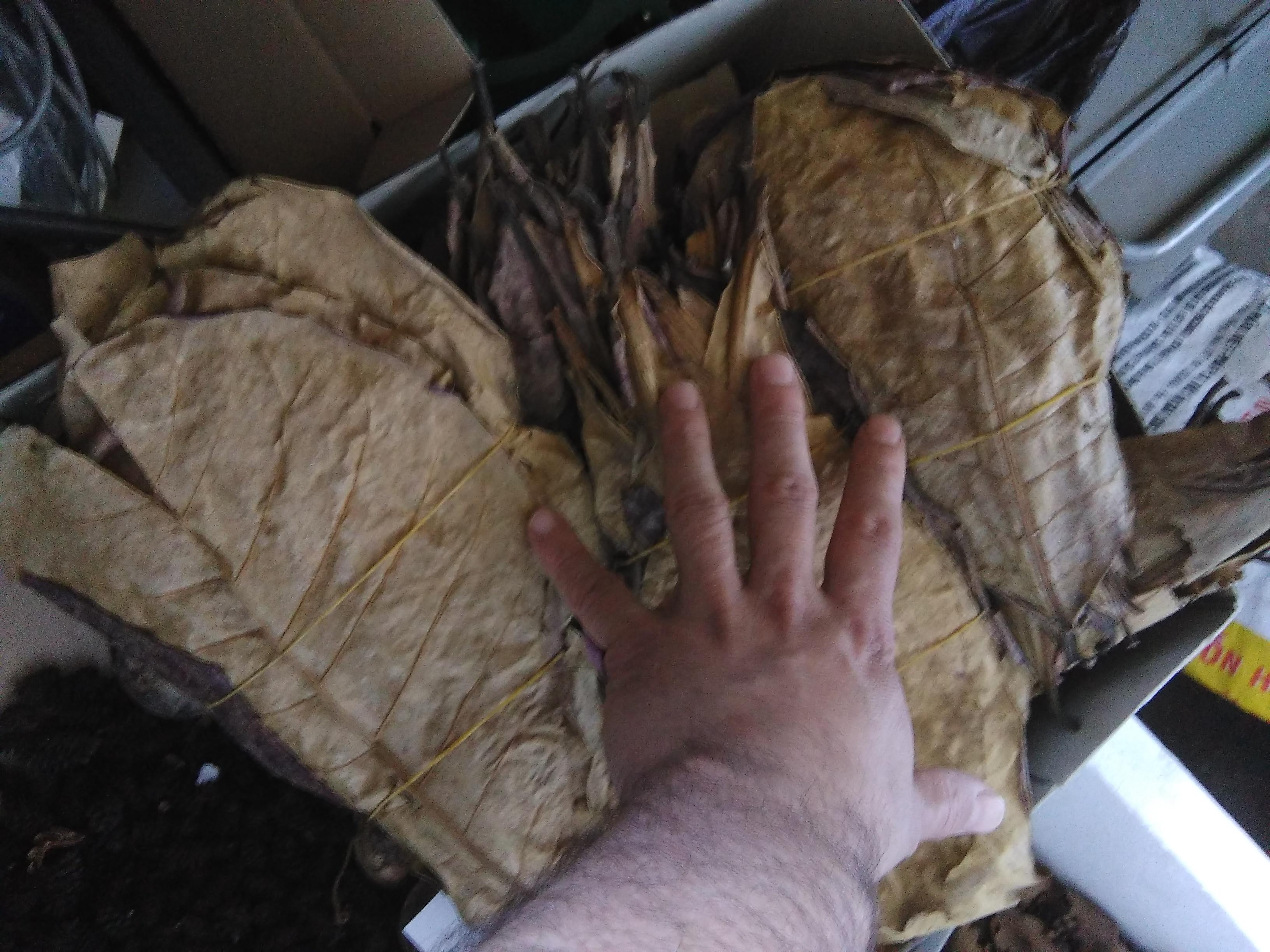 feuilles de catappas 0,15 centimes pièce  17052602350637513