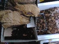 feuilles de catappas 0,15 centimes pièce  Mini_170526023652223414