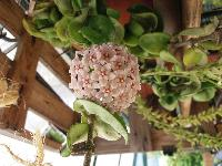 Hoya carnosa compacta - Page 2 Mini_170606030418329015