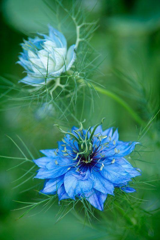 Fleur - Nigelle de Damas