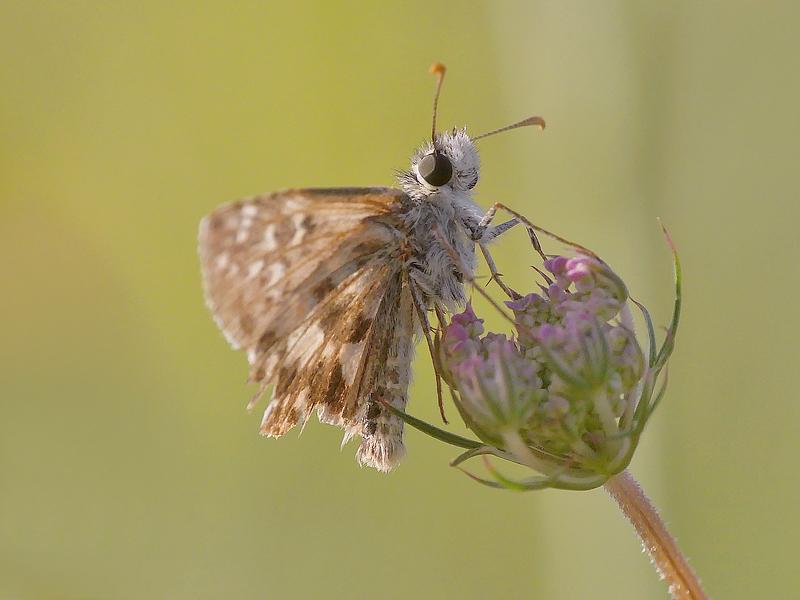 Papillon (790)