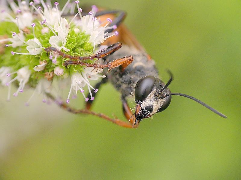 Sphex à ailes jaunes (123)