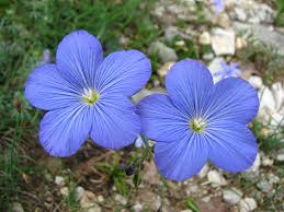 Fleur - Lin bleu