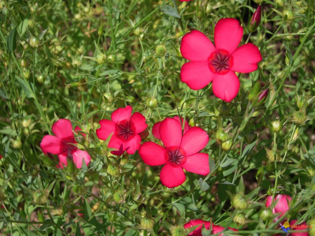 Fleur - Lin rouge